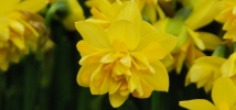 Naturally narcissus