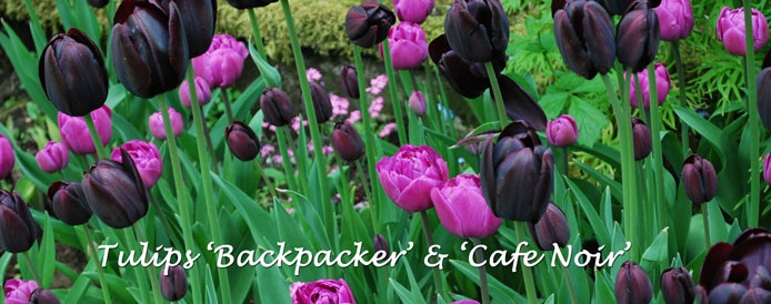 Tulips Backpacker-&-Cafe-Noir