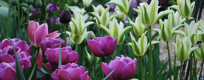 Tulips Blue Diamond & Green Star
