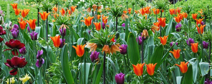 Tulips & Crown Imperials