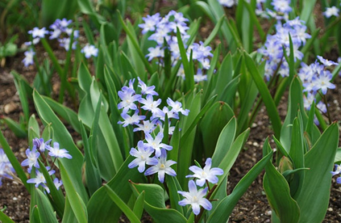 Chionodoxa spring flowering bulbs products rose cottage plants chionodoxa mightylinksfo