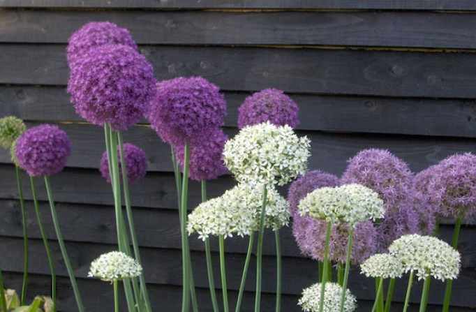 Alliums Spring Flowering Bulbs Products Rose Cottage Plants