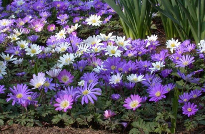 Anemone Spring Flowering Bulbs Products Rose Cottage Plants