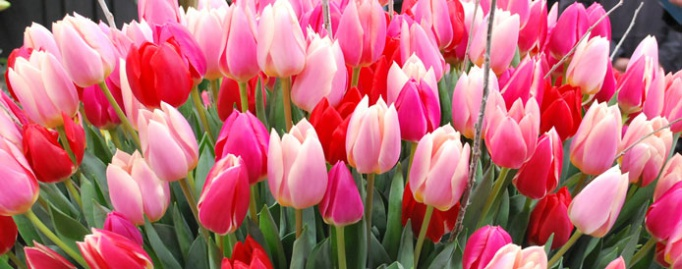 Tulip Collections & Gift Cards