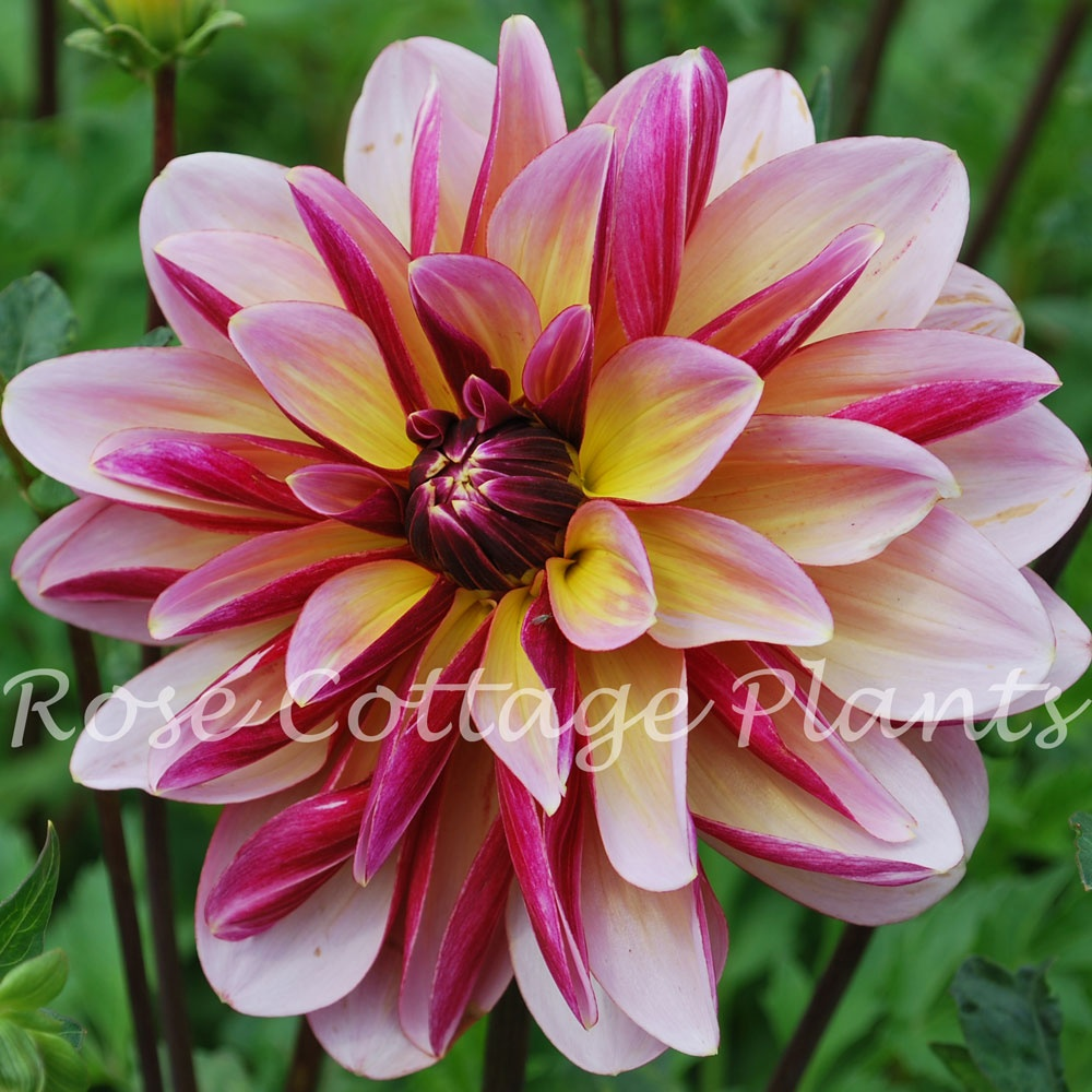 Dahlia dark butterfly rose cottage plants dahlia dark butterfly izmirmasajfo