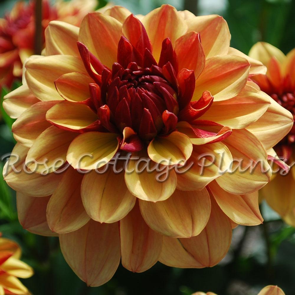 Rose cottage plants dahlia crme de cognac izmirmasajfo
