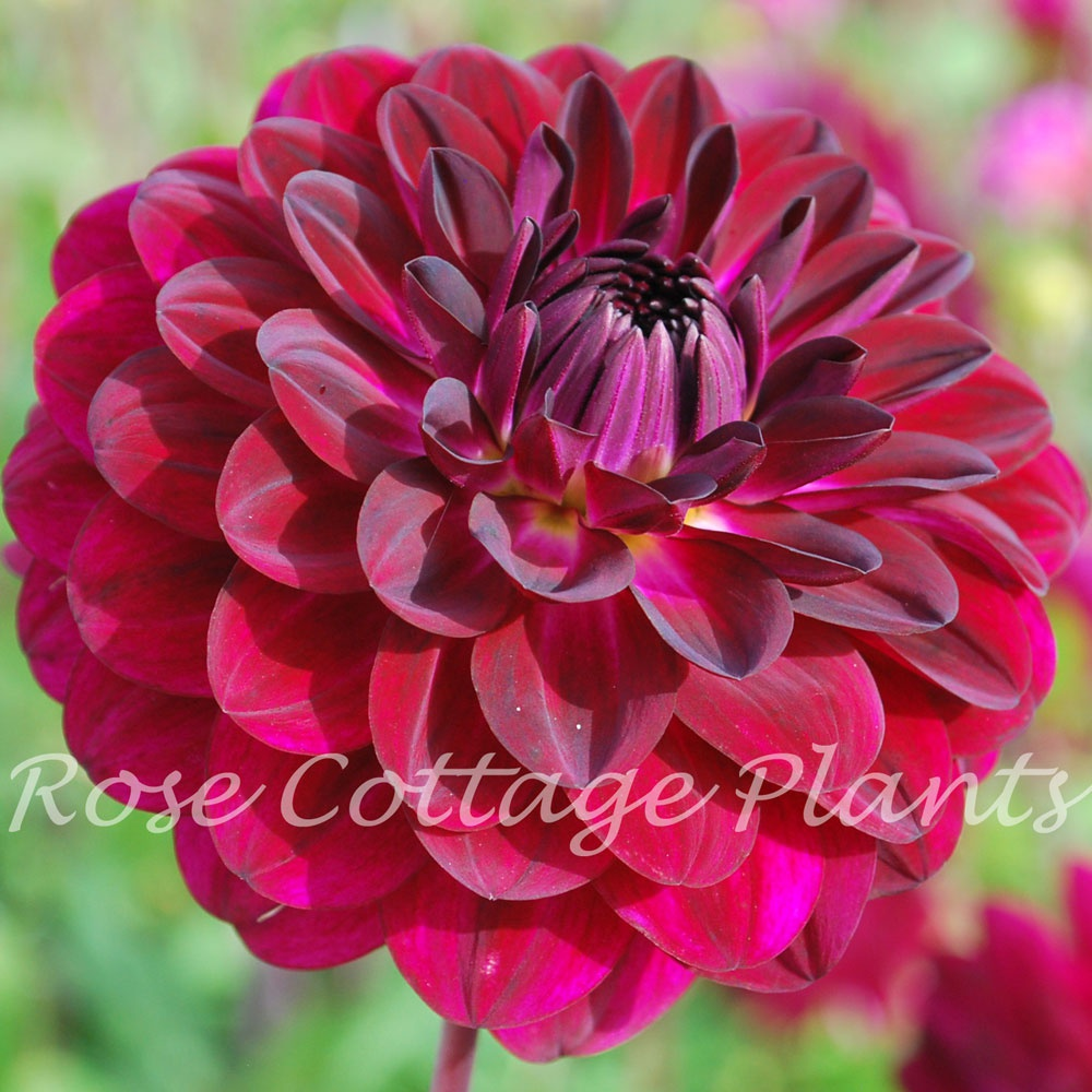 Dahlia Blue Bird Rose Cottage Plants