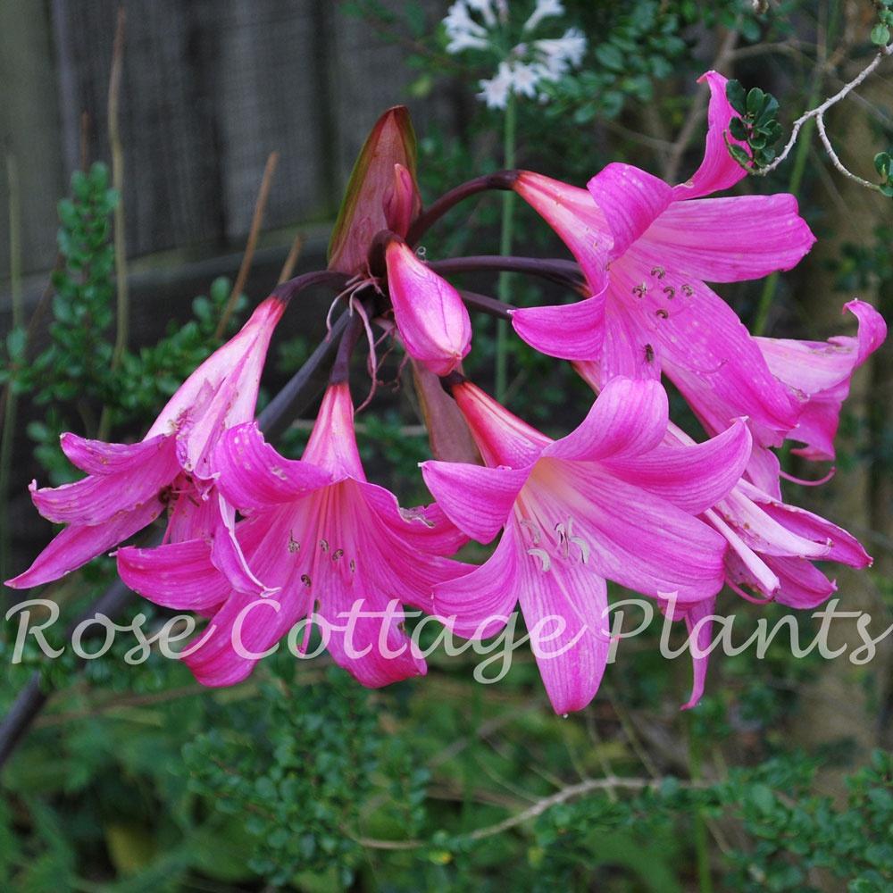 Fabelhaft Amaryllis belladonna AGM - Rose Cottage Plants @LA_59