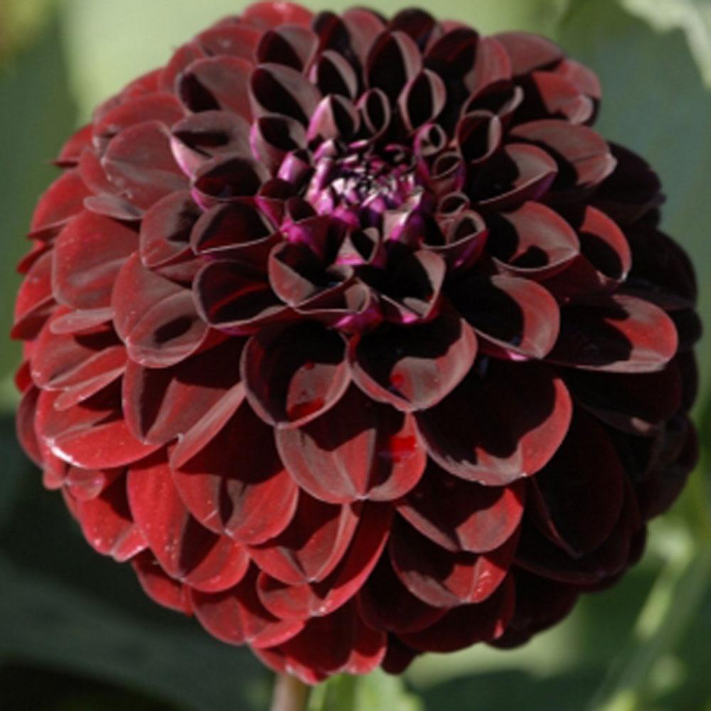 Dahlia night queen rose cottage plants dahlia night queen izmirmasajfo