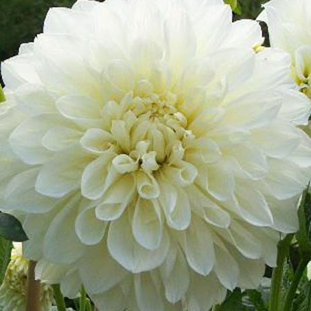 Dahlia White Perfection Rose Cottage Plants