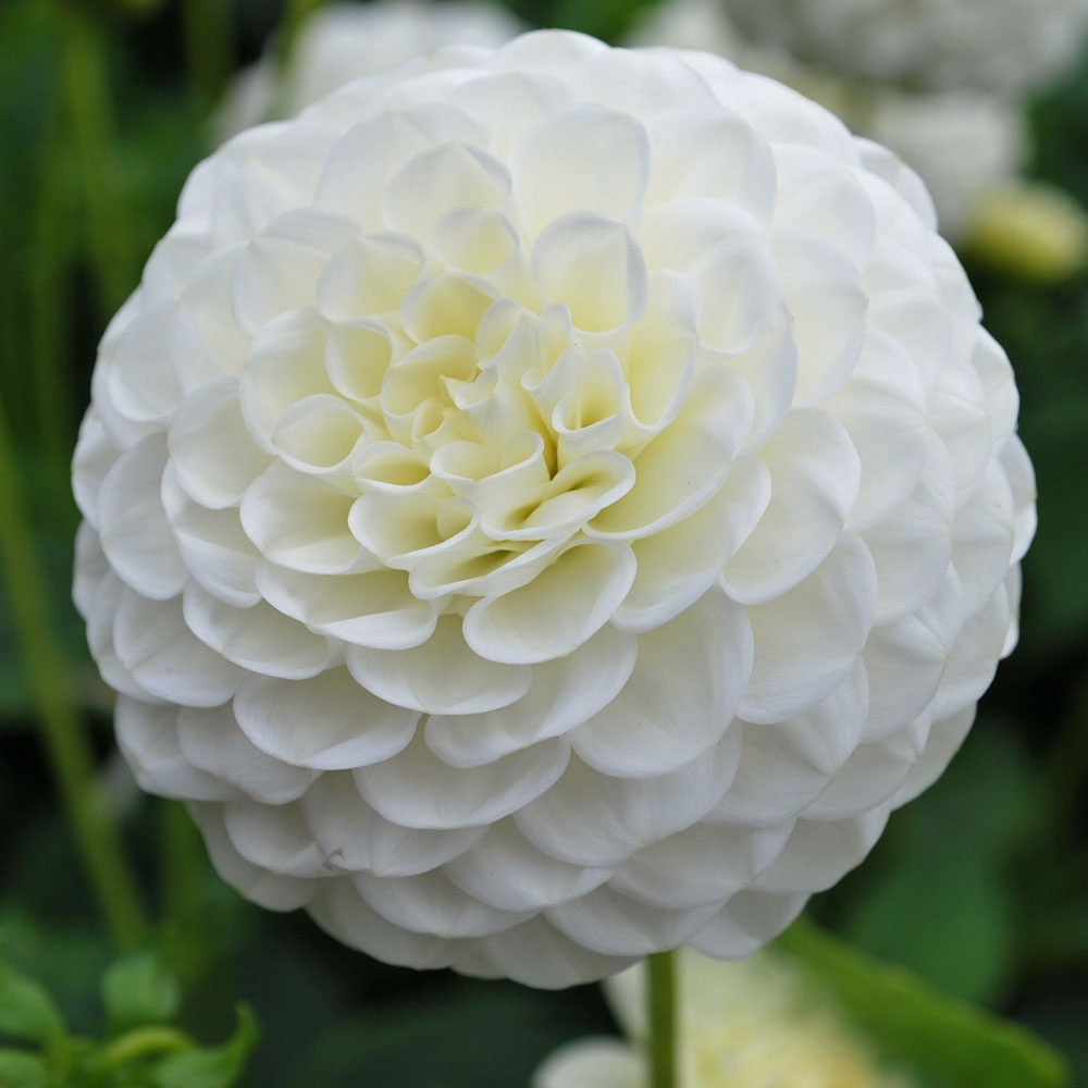 Dahlia White Aster Rose Cottage Plants
