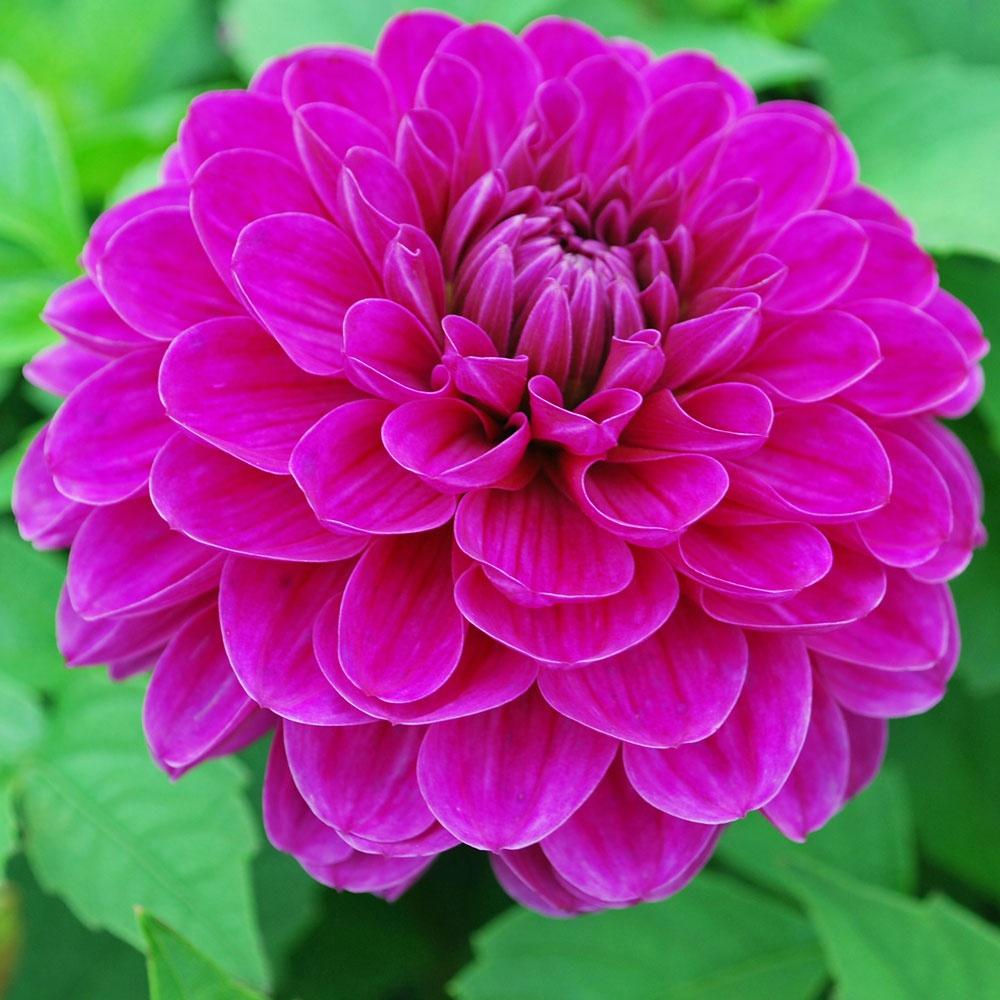 Dahlia Cartouche Rose Cottage Plants