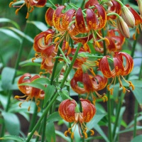 Lilium 'Arabian Knight'