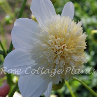 Dahlia 'Platinum Blonde'