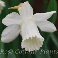 Narcissus 'Ice Baby' (formerly 'Snow Baby')