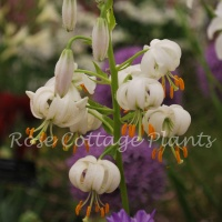 Lilium martagon hybrid - white selection