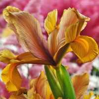 Iris hollandica 'Autumn Princess'