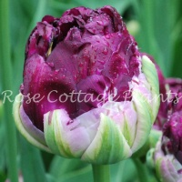 Tulip 'Exquisit'