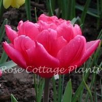 Tulipa 'Queen of Marvel'