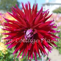Dahlia 'Geri Scott' (Gerry Scott)