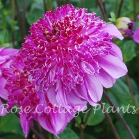 Dahlia 'Richards Fortune'