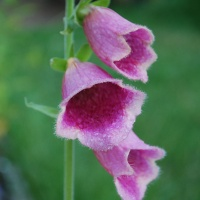 Digitalis mertonensis