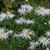 Leucanthemum 'Old Court Variety'
