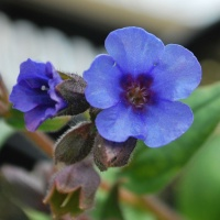 Pulmonaria ang. 'Blue Ensign'