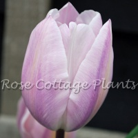 Tulipa 'Silver Cloud'