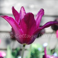 Tulipa 'Purple Heart'