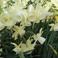 Narcissus 'Lemon Hunter'