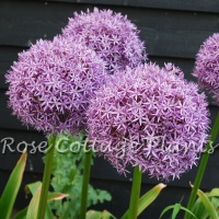 Allium 'Dutchman'