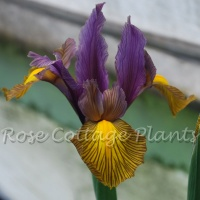 Iris hollandica Picasso