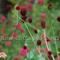 Sanguisorba officinalis 'Martin's Mulberry'