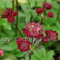Astrantia major 'Gil Richardson'