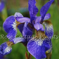 Iris sibirica 'Tropic Night' AGM