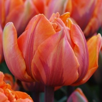 Tulipa 'Orange Princess' AGM