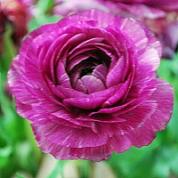 Ranunculus 'Aviv' purple