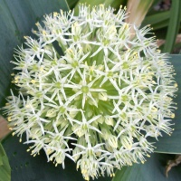 Allium karataviense 'Ivory Queen'