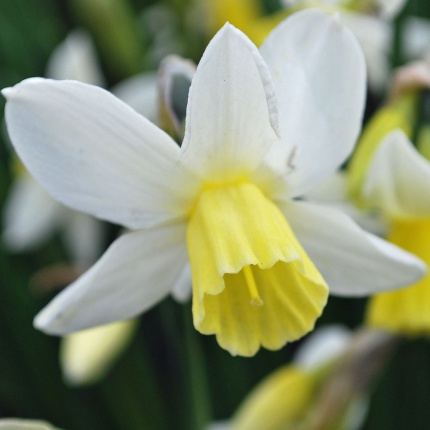 Narcissus 'Sailboat' AGM