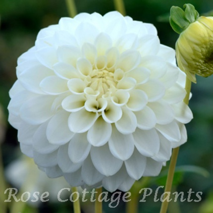 Dahlia 'Petra's Wedding'