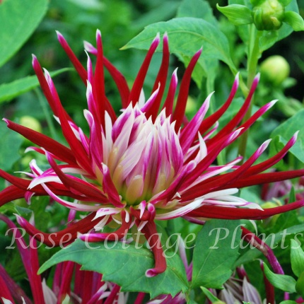 Dahlia 'Hollyhill Spiderwoman'