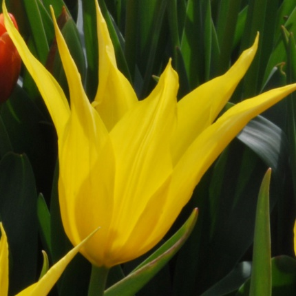Tulipa 'Seattle'