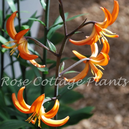 Lilium 'Orange Marmalade'