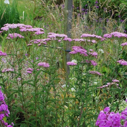 Achillea mil. 'Lilac Beauty'