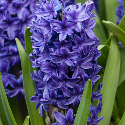 Hyacinth 'Blue Trophy'