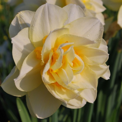 Narcissus 'Manly' AGM