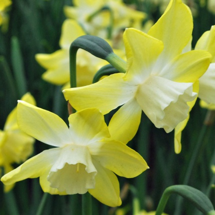 Narcissus 'Pipit' AGM