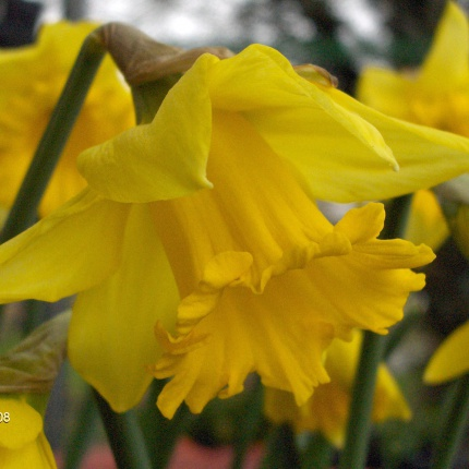 Narcissus 'Rijnveld's Early Sensation' AGM