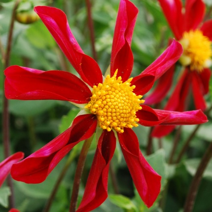 Dahlia 'Honka Red'